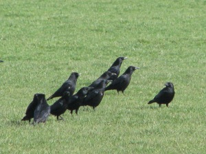A murder of crows?