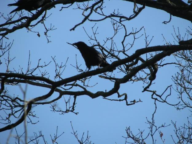 Hitchcockian Crow