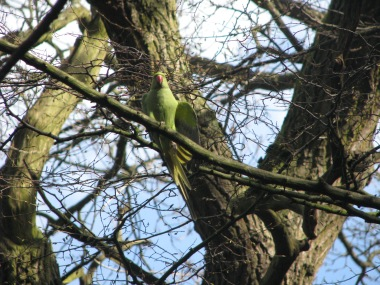 A chatty Ringnecked Parakeet