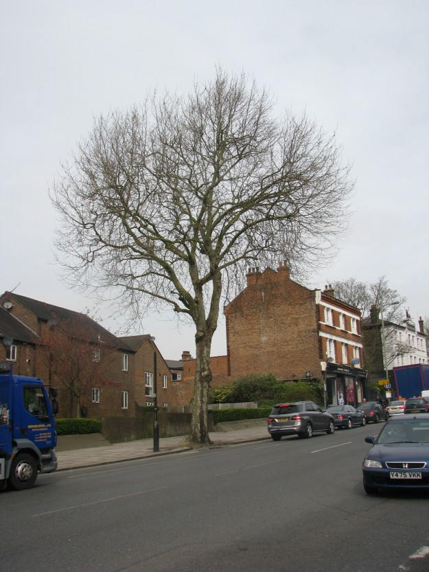 A London Plane tree on East Finchley High Street