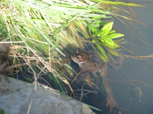 Male frog waiting for the females to arrive