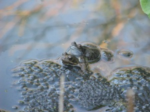 Frogs mating at the edge of a mass of frogspawn