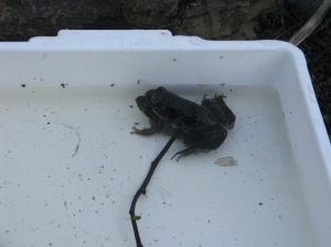 Two frogs in amplexus, refusing to be separated even when the paparazzi arrive