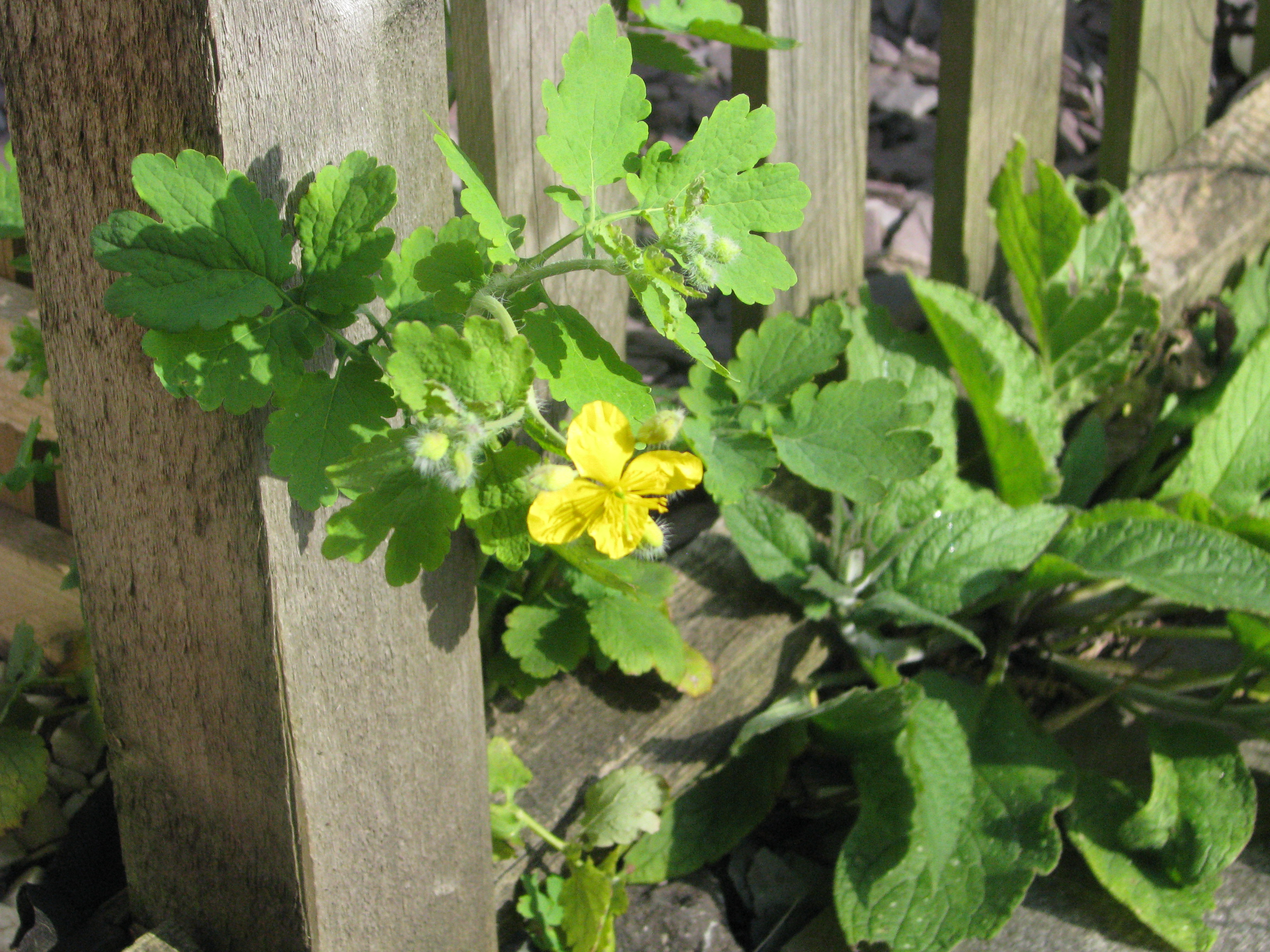 How to remove warts celandine independently