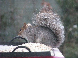 A squirrel takes advantage of the bird table in the snowy winter of 2012