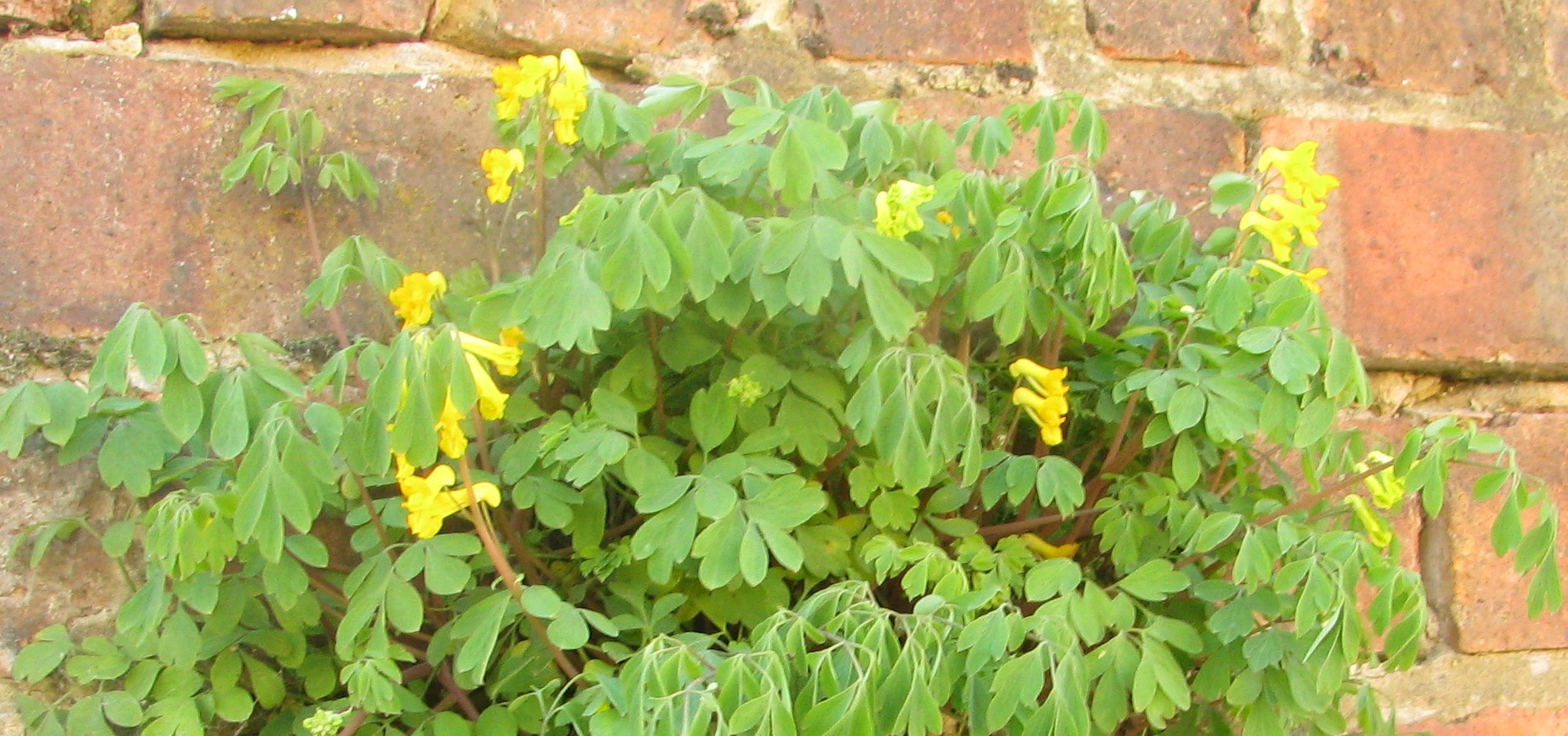 The beauty of weeds bug woman adventures in london the long bell shaped flowers of the yellow corydalis mightylinksfo