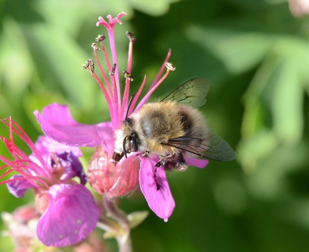 A decent shot of a male Spring Flower bee, By Pancrat (Own work) [GFDL (http://www.gnu.org/copyleft/fdl.html) or CC-BY-SA-3.0-2.5-2.0-1.0 (http://creativecommons.org/licenses/by-sa/3.0)], via Wikimedia Commons