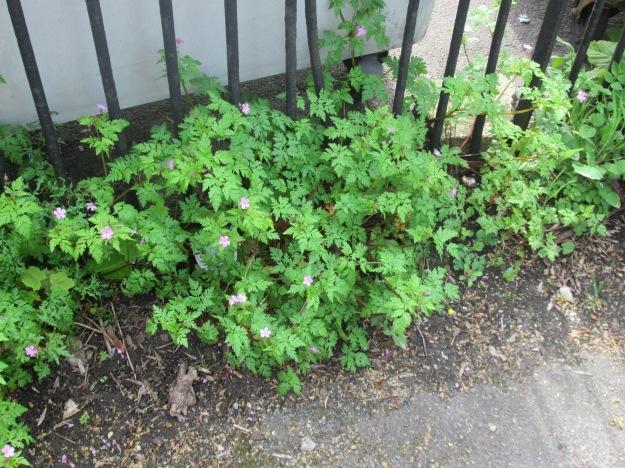 Herb-Robert (Geramium robertianum)