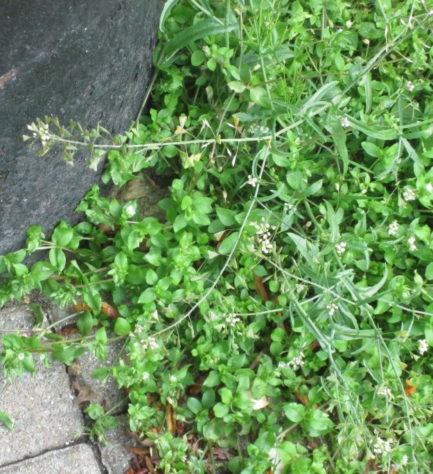 Shepherd's Purse (the long straggly plant with the white flowers)