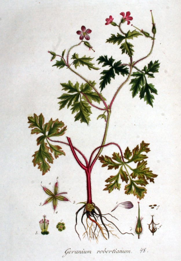 Herb-Robert from the Flora Batava of Jan Kops (1765-1849)