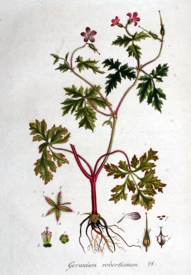 Herb-Robert from the Flora Batava of Jan Kops (1765-1849)