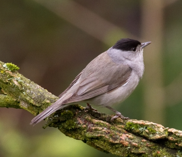 A male Blackcap, By Tony Hisgett from Birmingham, UK (Blackcap 1a  Uploaded by Magnus Manske) [CC-BY-2.0 (http://creativecommons.org/licenses/by/2.0)], via Wikimedia Commons