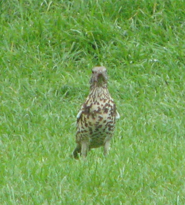 A Mistle Thrush showing its fine spotted chest