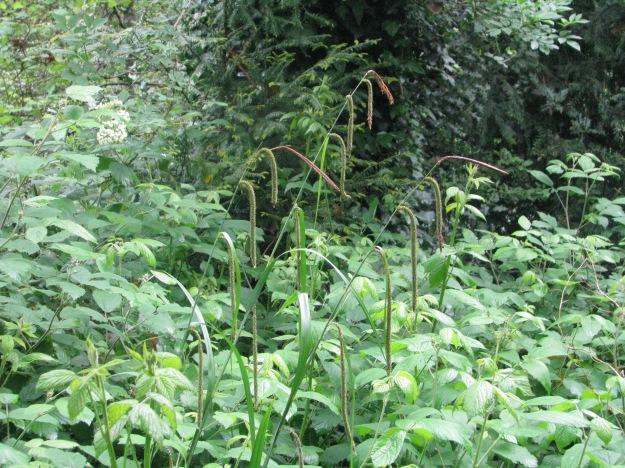 Pendulous Sedge in Cherry Tree Wood