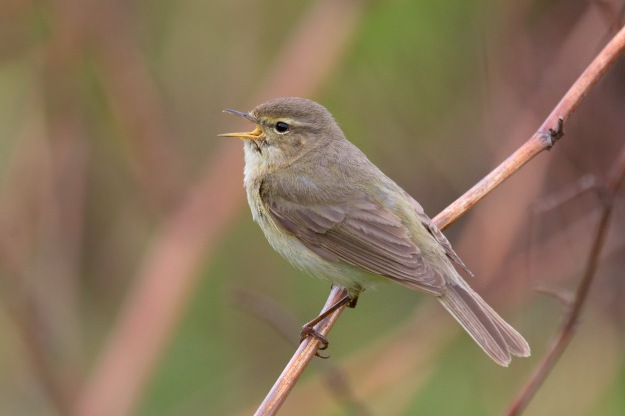 The Chiffchaff - more often heard than seen