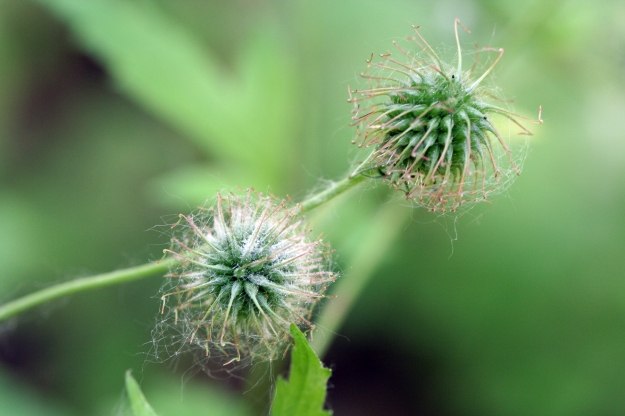 Geum urbanum seedhead By Randy A. Nonenmacher (Own work) [CC-BY-SA-3.0], via Wikimedia Commons