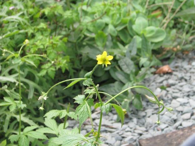 Herb Bennet (Geum urbanum)