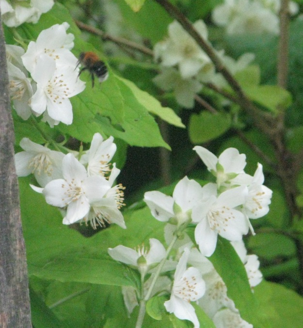 Tree bumblebee enjoying the Mock Orange