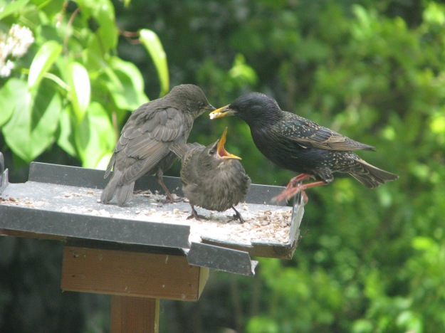 Newly-fledged starlings being fed
