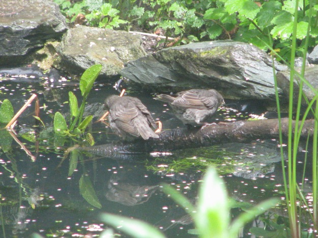 Fledgling starlings bathing
