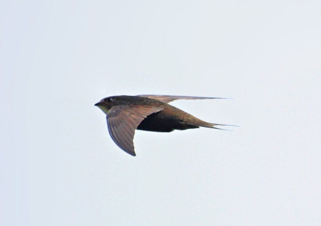 Swift in Flight By Billy Lindblom (Flickr: Swift (Apus apus)) [CC-BY-2.0 (http://creativecommons.org/licenses/by/2.0)], via Wikimedia Commons