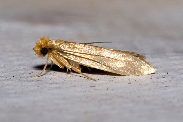 Clothes Moth Adult