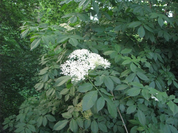Elder Blossom (Sambucus Nigra)