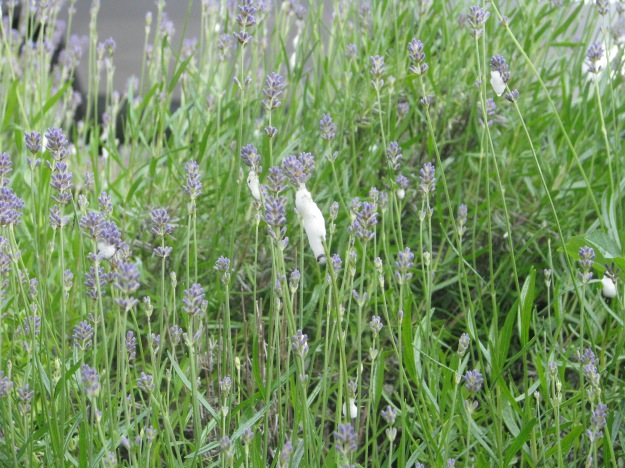 Cuckoo Spit on the lavender in the front garden