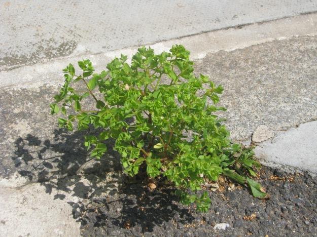 Sun Spurge (Euphorbia helioscopia)
