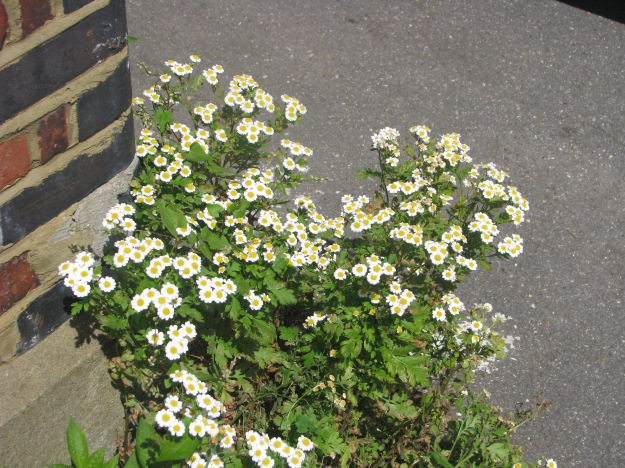 Sunspurge and Feverfew 004