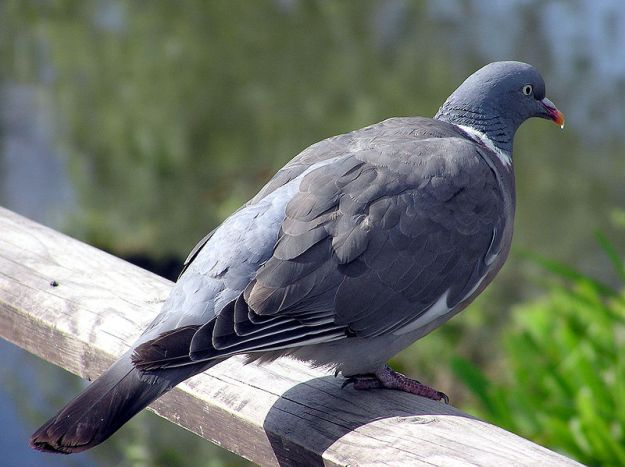 The woodpigeon looks like a gentle, inoffensive bird, but beneath those soft grey feathers lurks a passionate heart