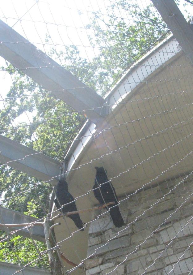 Captive Ravens