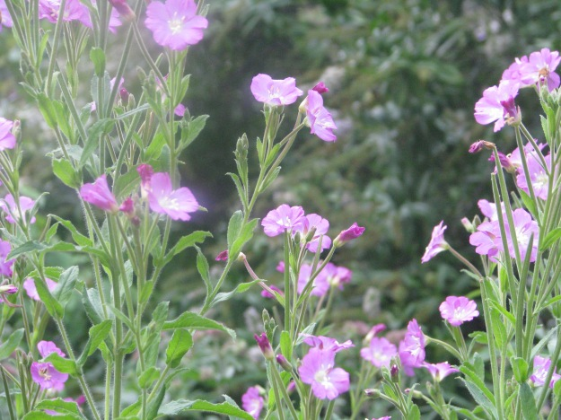 Great Willowherb (Epibilium hirsutum)