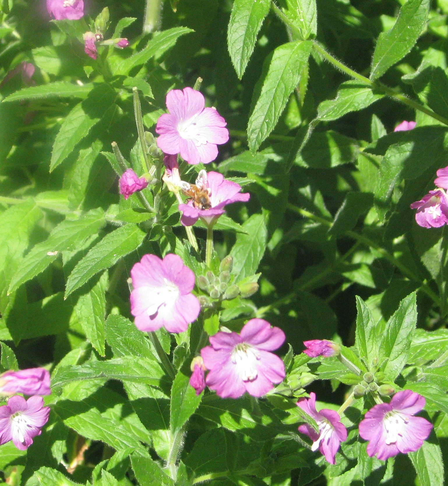 My great willowherb in happier days…