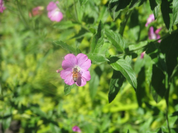 Great Willow Herb blog Bee 3