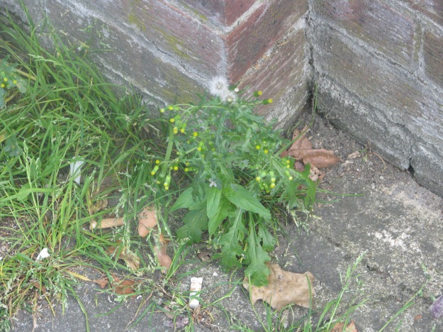 Groundsel blog 3