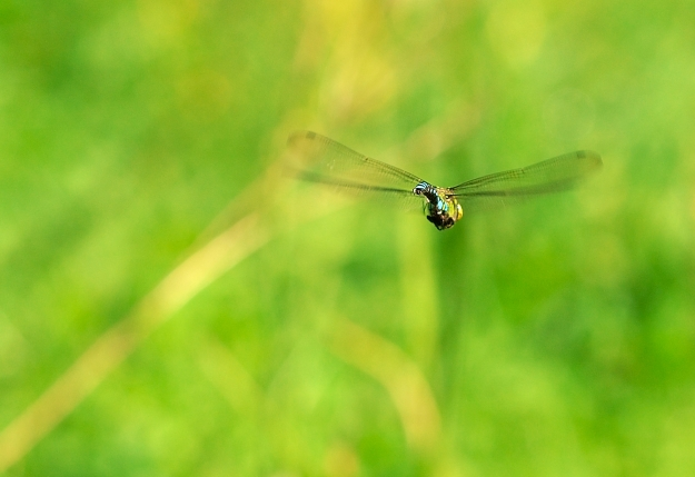 Blue Hawker (Aeshna cyanea) in flight - I, Luc Viatour [GFDL (http://www.gnu.org/copyleft/fdl.html), CC-BY-SA-3.0 (http://creativecommons.org/licenses/by-sa/3.0/) or CC-BY-SA-2.5-2.0-1.0 (http://creativecommons.org/licenses/by-sa/2.5-2.0-1.0)], via Wikimedia Commons