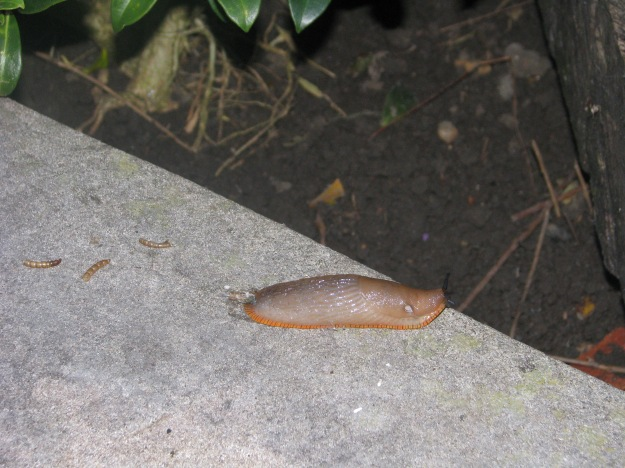 Spanish Slug (Arion vulgaris) or native Large Black Slug (red form?)