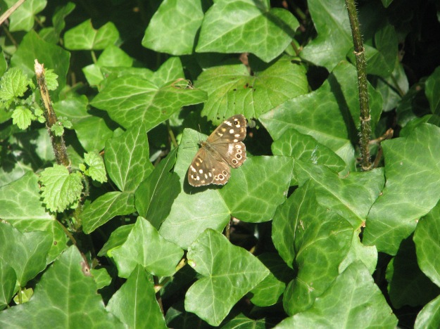 Speckled Wood (Parage aegeria)