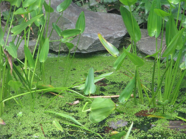 Duckweed Blog 5