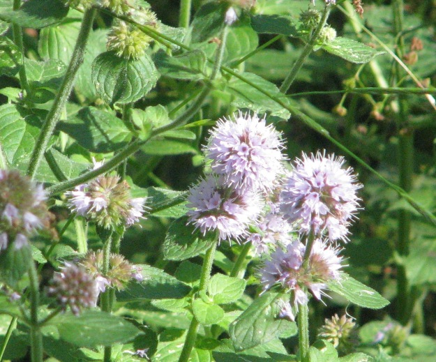 Harvestman Cuckoopint Mauve flower 012