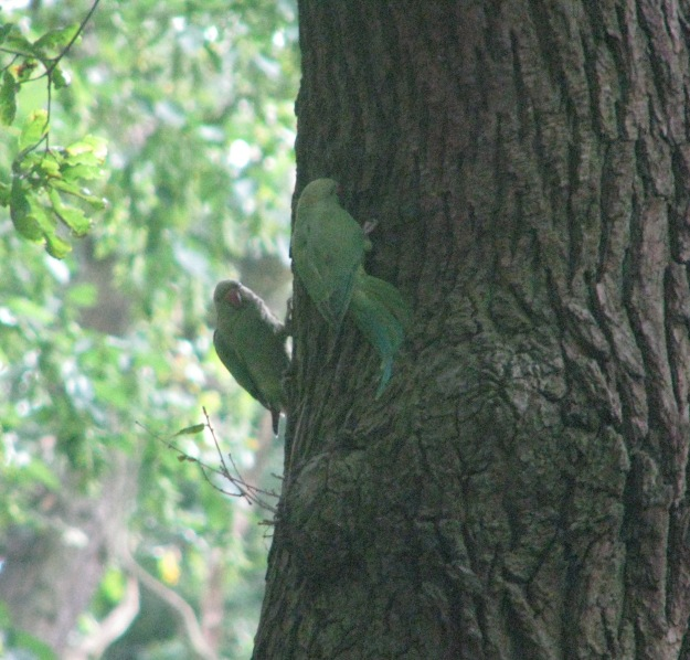 Two of the Ring-necked Parakeets (Psittacula krameri)