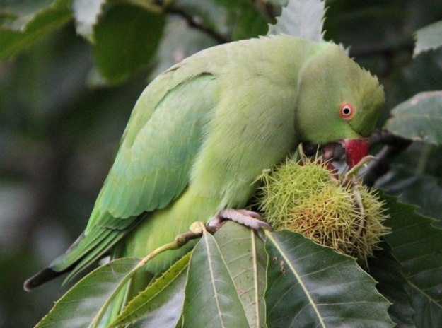 Ringnecked Parakeet eating sweet chestnuts in Kew Gardens © Copyright Christine Matthews and licensed for reuse under this Creative Commons Licence.