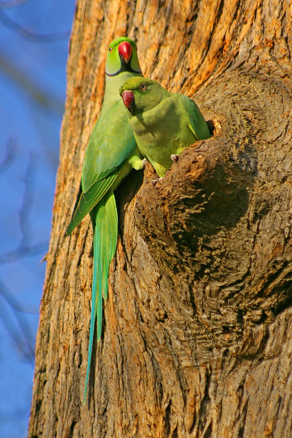 Rose-ringed Parakeets Esher