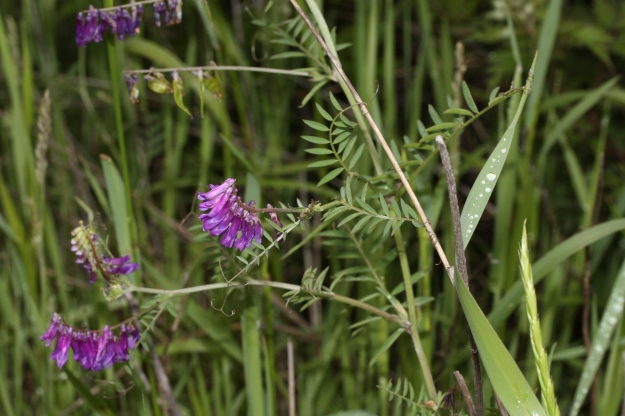 A close look at Tufted Vetch makes clear that it is a type of pea....