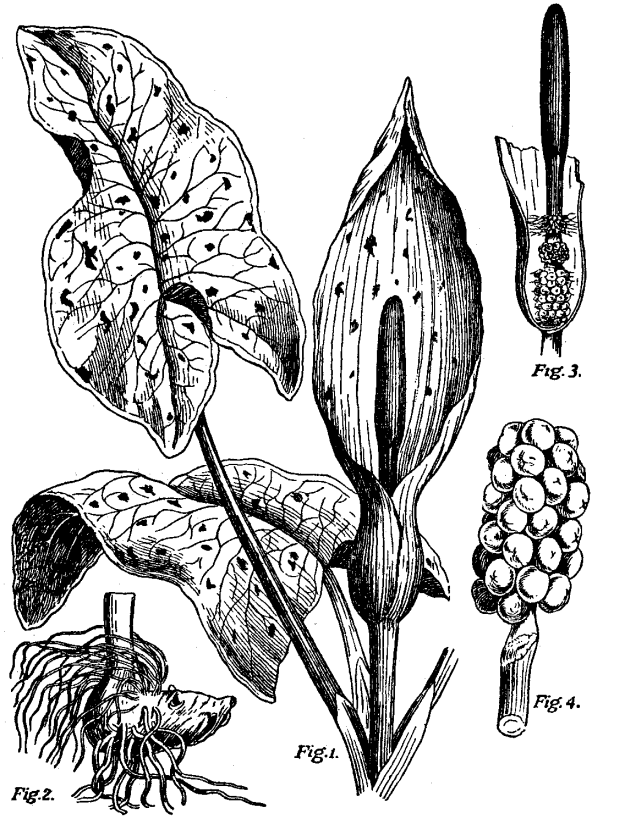 Diagram of the 'flower' of the Cuckoo-pint