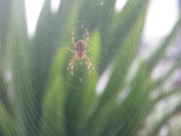 Garden Spider 002 BP