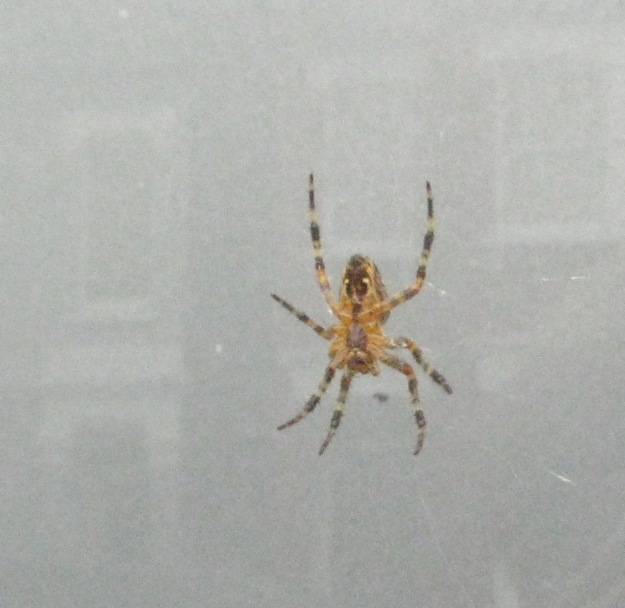 Garden Spider 017 bp