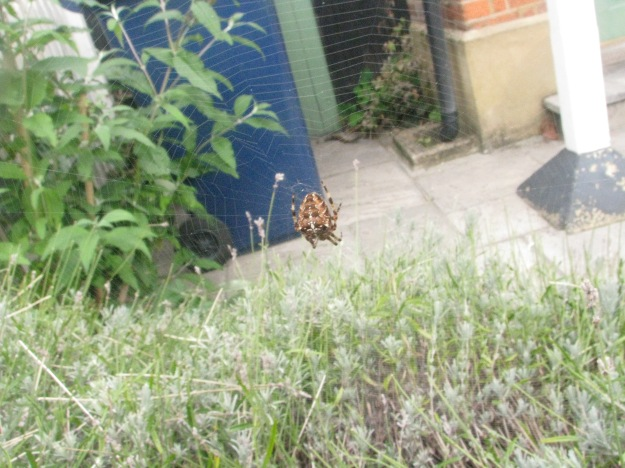 Another Garden Spider - this one is much darker in colouration than the others