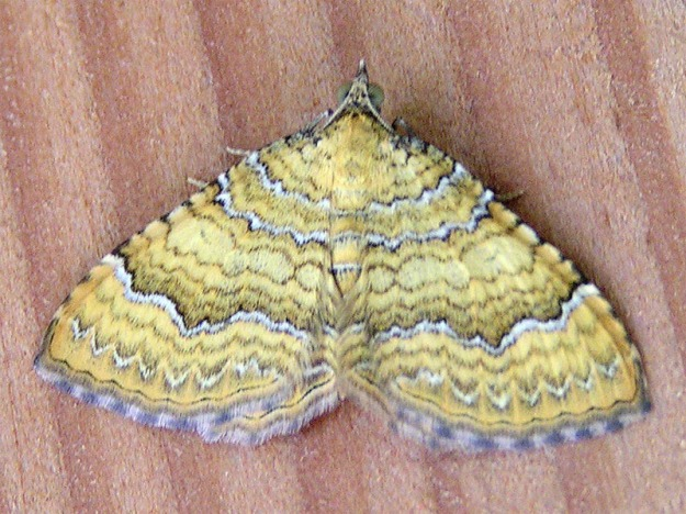 "Yellow Shell moth (Camptogramma bilineata) ""Camptogramma bilineata"" by Eric Steinert - photo taken by Eric Steinert near Munich, Germany. Licensed under Creative Commons Attribution-Share Alike 3.0 via Wikimedia Commons - http://commons.wikimedia.org/wiki/File:Camptogramma_bilineata.jpg#mediaviewer/File:Camptogramma_bilineata.jpg"